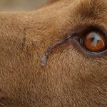 dogs, pets, pet news india, pet news, crying eyes, dogs eye water