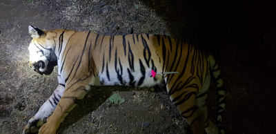 Avni, tiger, savethetiger, wild cat, pet news, news on pets