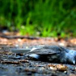 bird deaths sankranti, bird injuries sankrani, kite flying bird deaths, bird injuries nylon kite string