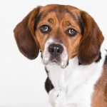 beagles india, beagles testing, beagles pharma testing, beagles drug testing, beagles cosmetic industry