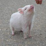 pigs as pets, pet pigs, pigs intelligence
