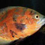 Oscar, Pet, Fish, Global news, abandoned, animal cruelty