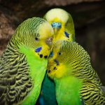 parakeets, birds, India, illegal trade, trafficking