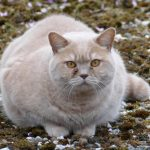 obese cats, cats, cat disorder