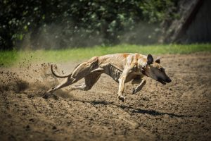 sighthounds, greyhounds, sighthounds pets, afghan hound, polish greyhound, Hungarian Greyhound, Irish Wolfhound, Rampur greyhounds