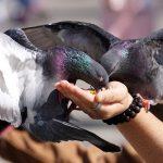 Bird Feeding, pigeons, India, Mumbai, animal activists